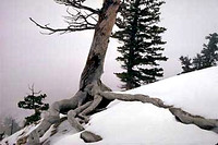 Bryce Trees in Snow