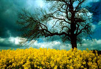 Tree in Rapeseed Field